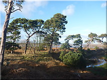 NT6378 : Coastal East Lothian : Pines Above Hedderwick Burn by Richard West