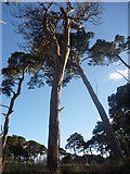 NT6378 : East Lothian Landscape : The Dying Of The Pines by Richard West