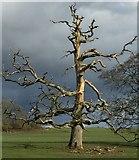 SN0113 : Dead Tree by Alan Hughes