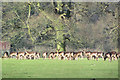 SP9712 : Fallow Deer by at large tree at Ashridge by Chris Reynolds