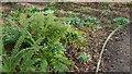 TQ2997 : Ferns and Snowdrops in Water Garden, Trent Park, Enfield by Christine Matthews