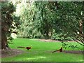 TQ1876 : Golden or Chinese pheasants at Kew Gardens by Christine Johnstone