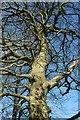 SX8257 : Beech by the Dart Valley Trail by Derek Harper