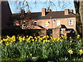 SO8554 : A host of golden daffodils by Chris Allen