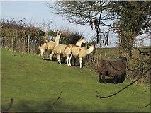ST6660 : Alpacas near Farmington by Derek Harper