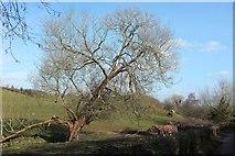 ST6660 : Tree by the Conygre Brook by Derek Harper