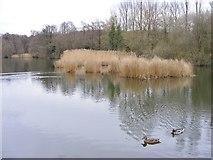 SO8991 : Lake Grasses by Gordon Griffiths