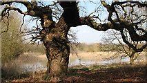 TG1608 : Gnarled old oak by the River Yare by Evelyn Simak