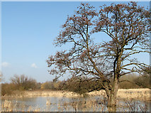 TG1608 : Waterlogged ash tree by Evelyn Simak