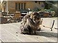 ST4917 : Cat at Montacute House by Derek Harper