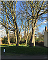 SO8554 : Grove of sycamores at the foot of Fort Royal Park, Worcester by Robin Stott