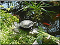TQ5074 : Terrapin in the greenhouse at Hall Place by Marathon
