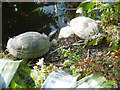 TQ5074 : Terrapins in the greenhouse at Hall Place by Marathon