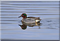 NY0565 : A male Teal (Anas crecca) at Caerlaverock Wetland Centre by Walter Baxter