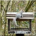 SJ5785 : Squirrel at Moore Nature Reserve by Gerald England