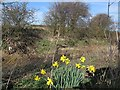 SE3750 : Daffodils by the Crimple Beck by Stephen Craven