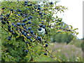 SP8914 : Sloe berries along the towpath by Mat Fascione