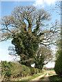 TF8509 : Ivy-clad oak trees beside farm track by Evelyn Simak