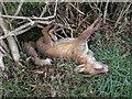 H3878 : A dead fox, Glasmullagh by Kenneth  Allen