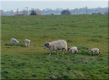 TL0393 : Ewe and lambs next to the Willow Brook by Mat Fascione