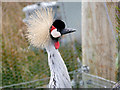 SD4214 : Martin Mere Wetland Centre, Grey-crowned Crane (Balearica regulorum) by David Dixon