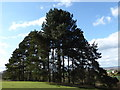TL0238 : A copse of  conifers in Ampthill Park, Bedfordshire by pam fray