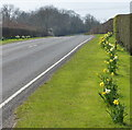 TL1194 : Daffodils along Oundle Road by Mat Fascione