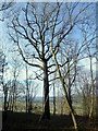 SO4132 : Oak and beech in Big Wood by Jonathan Billinger
