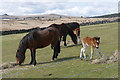 SX6474 : Dartmoor Ponies, Dunnabridge by Alan Hunt