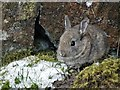 SK1899 : Baby rabbit in Hordron Sheepfold by Neil Theasby