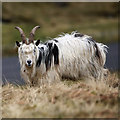NT2015 : A feral nanny goat on Trowgrain Middle by Walter Baxter
