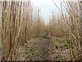 SE3620 : Footpath through a field of bamboo shoots by Graham Hogg