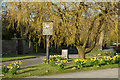 NY5123 : Daffodils surrounding green with pub sign by Trevor Littlewood