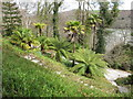 SW8339 : Tree ferns and palms, Trelissick gardens by David Hawgood