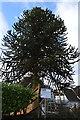 TQ1145 : Monkey Puzzle Tree, Abinger by N Chadwick