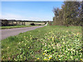 SU4573 : Cowslips on the Verge by Des Blenkinsopp