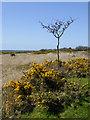 SS2620 : Gorse, grass and hawthorn on Bursdon Moor, Devon by Roger  Kidd
