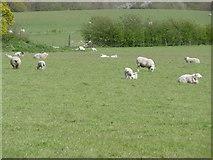 TQ4476 : New lambs at Woodlands Farm by Marathon
