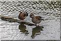 TQ2276 : Ducks, Wetlands Centre, Barnes by Christine Matthews
