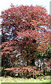 TG1115 : Copper beech tree on the edge of The Spinney by Evelyn Simak