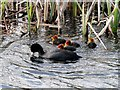 SD7807 : Coots on the Canal by David Dixon