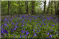 SJ4333 : Bluebells at Colemere by Geraint Roberts