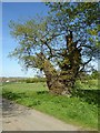 SO8842 : Old oak tree by Philip Halling