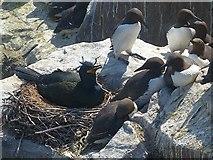 NU2135 : Shag on nest and guillemots, Inner Farne by Robin Drayton