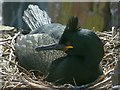 NU2135 : Shag on nest, Inner Farne by Robin Drayton
