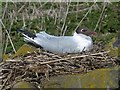 NU2135 : Black-headed gull on nest, Inner Farne by Robin Drayton