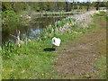 SJ3326 : Swan on patrol by John Haynes