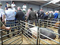 SU0797 : Auctioning pigs, Cirencester Livestock Market, Cotswold Agricultural Centre by Vieve Forward