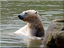 SE6301 : Polar bear at Yorkshire Wildlife Park by Graham Hogg