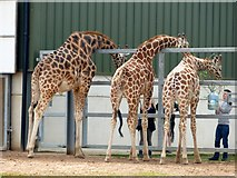 SE6301 : Feeding time for the giraffes by Graham Hogg